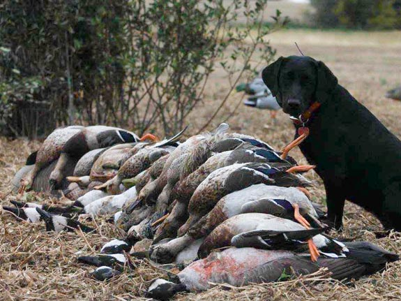 Guided waterfowl hunts in Canada with Venture North Outfitting. What a lucky dog!