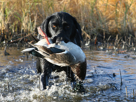 Guided duck hunts and goose hunts are offered by Venture North guides and outfitters.