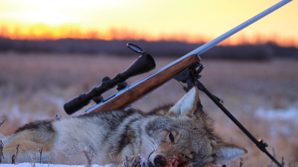 Guided Coyote hunting in Alberta prevents predator over-population.